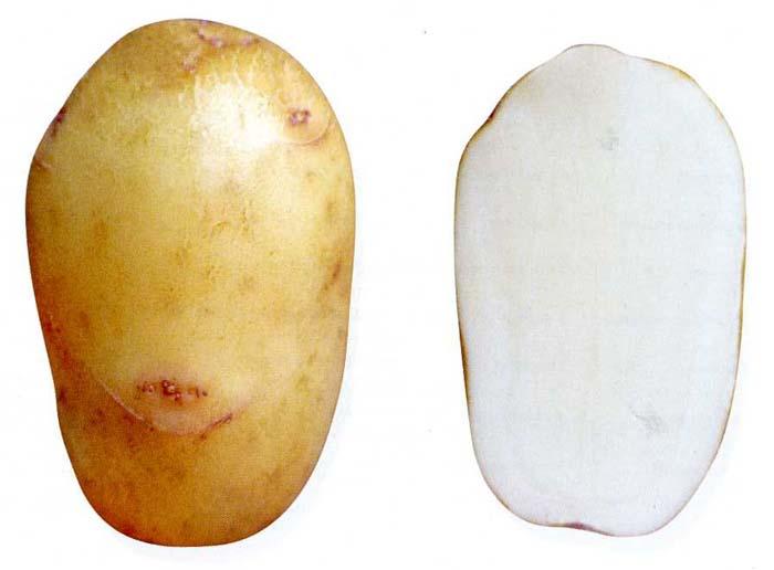 sort-kartofelya-avrora