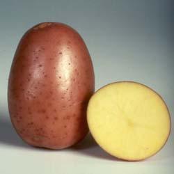 sort-kartofelya-bellaroza
