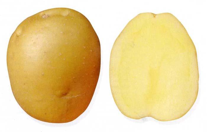 sort-kartofelya-bryanskij-delikates