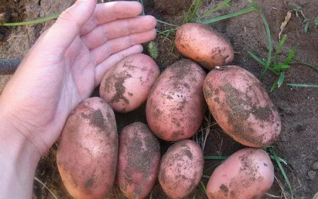 sort-kartofelya-bryanskij-krasnyj
