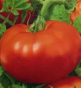 foto-sorta-tomata-pomidora-33-bogatyrya