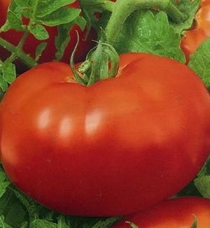 sort-tomata-pomidora-33-bogatyrya