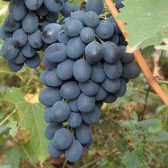 foto-sorta-vinograda-avgusta