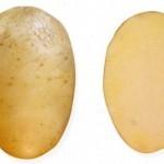 Описание сорта картофеля Даренка