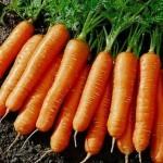 Описание сорта моркови Артек