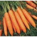 Описание сорта моркови Бангор