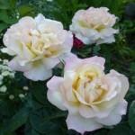 Описание сорта розы Глория деи
