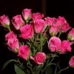 Описание сорта розы Грация