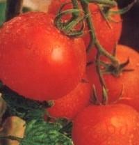 foto-sorta-tomata-pomidora-admiral-1