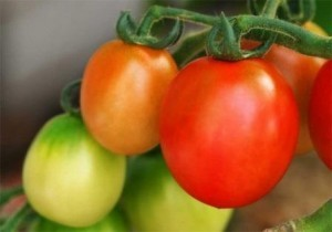foto-sorta-tomata-pomidora-admiral