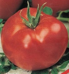 foto-sorta-tomata-pomidora-admiraltejskij-1