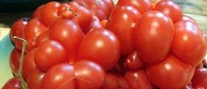 foto-sorta-tomata-pomidora-avrora