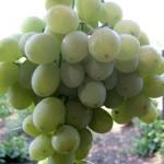 Описание сорта винограда Агадаи