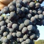 Описание сорта винограда Алый терский