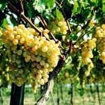Описание сорта винограда Анапский ранний