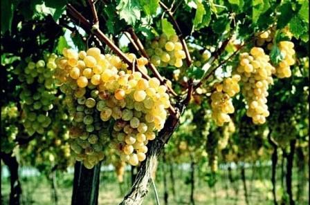 foto-sorta-vinograda-anapskij-rannij