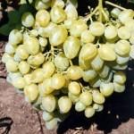 Описание сорта винограда Аркадия