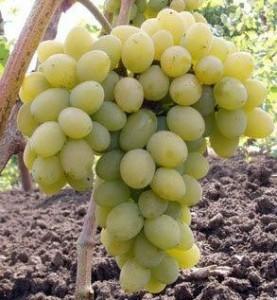 foto-sorta-vinograda-avgustin