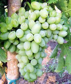foto-sorta-vinograda-baklanovskij-1