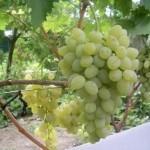 Описание сорта винограда «Баклановский»