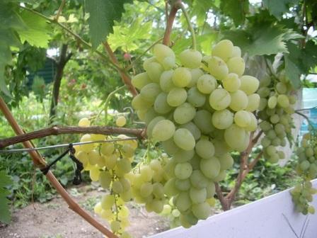 foto-sorta-vinograda-baklanovskij