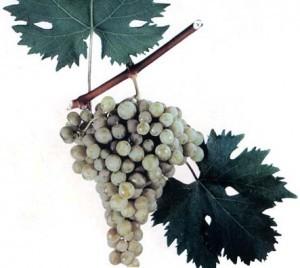 foto-sorta-vinograda-barhatnyj