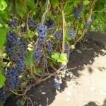 Описание сорта винограда Башкирский