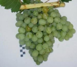 foto-sorta-vinograda-belyj-rannij