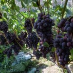 Описание сорта винограда Бригантина
