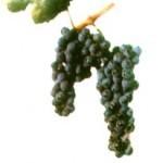 Описание сорта винограда «Достойный»