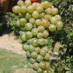 Описание сорта винограда «Дунавски лазур»