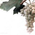 Описание сорта винограда «Екатеринодарский»