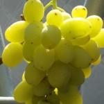 Описание сорта винограда Ермак Крайнова