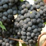Описание сорта винограда «Ильичевский ранний»