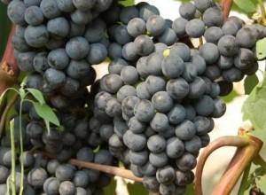 foto-sorta-vinograda-ilyichevskij-rannij