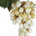Описание сорта винограда Италия