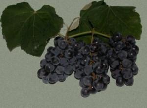 foto-sorta-vinograda-izabella