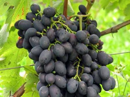 foto-sorta-vinograda-kaberne-azos-1