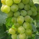 Описание сорта винограда Восторг