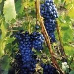 Описание сорта винограда «Зеленолугский рубин»