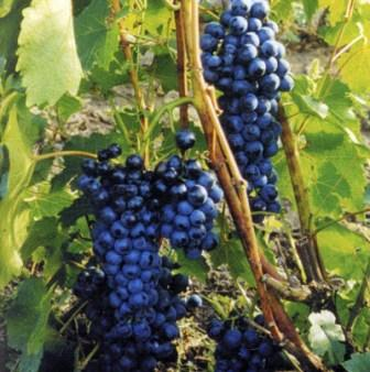 foto-sorta-vinograda-zelenolugskij-rubin