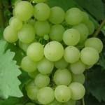 Описание сорта винограда «Жемчуг Саба»