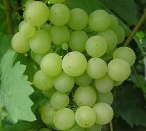 foto-sorta-vinograda-zhemchug-saba-1