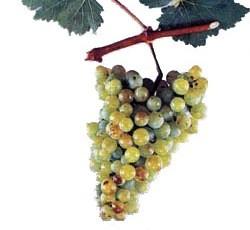 foto-sorta-vinograda-zhemchug-saba-2