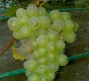 foto-sorta-vinograda-zhemchug-saba