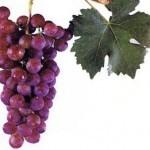 Описание сорта винограда Зоревой