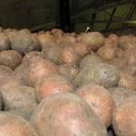 Описание сорта картофеля «Гарант»