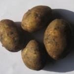 Описание сорта картофеля Гермес