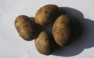 sort-kartofelya-germes