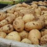 Описание сорта картофеля «Ветразь»